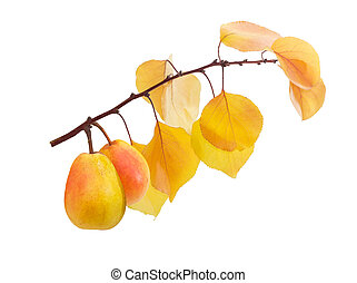 Two Duchess pear on a branch with yellow leaves - Two ripe...