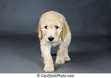 Sad face goldendoodle pup