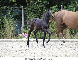 Foal raises forequarters - a brownish black foal trots...