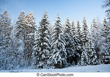 Winter forest in finland at dusk - Winter snow covered...