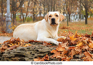 yellow labrador in the park in autumn