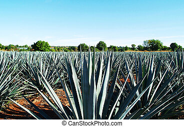 Tequila Landscape - Agave tequila landscape to Guadalajara,...