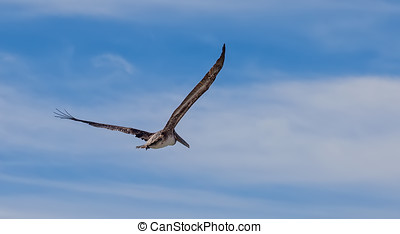Brown Pelican - Beautiful brown pelican in flight in Cabo...