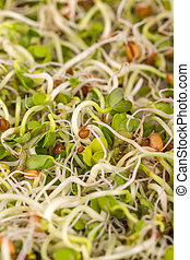 Fresh sprouts background, close up