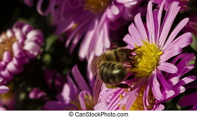 Bee On A Flower - Bee on a flower collecting pollen