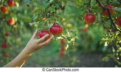 Woman Picking Apples - Woman in garden collects apples