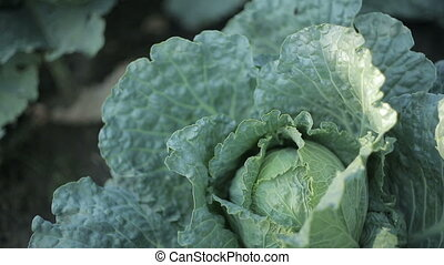Cabbage In The Garden - Young sprouts on a bed in the garden
