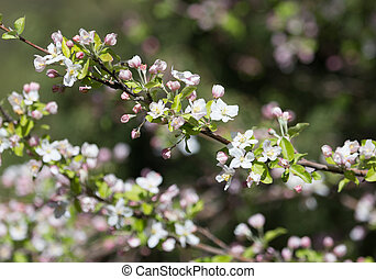 flowers on the fruit tree in nature