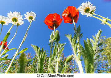Red poppies on a background of blue sky - 1 2 Red poppies in...