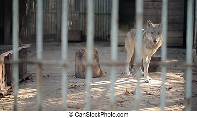 Gray Wolf In A Cage - Wolf behind the cage in the zoo
