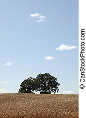 Vertical of wheat field with oak trees