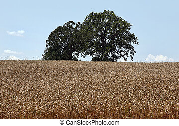 Wheat field with oak trees