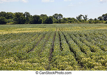 Rows of crops with forest background