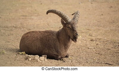 Capricorn In The Zoo - Mountain goat in a desert