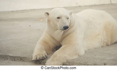 Polar Bear In The Zoo - Polar bear in a zoo