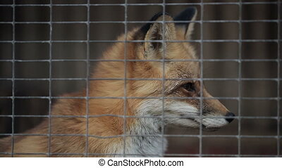 Fox In A Cage - Fox in cage at Zoo