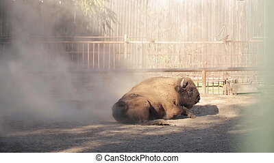 Bison lying on the ground - Bison on the dusty ground at zoo