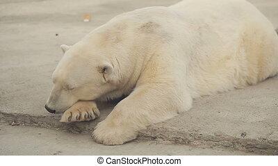 Sleeping Polar Bear - Polar bear sleeps in the zoo