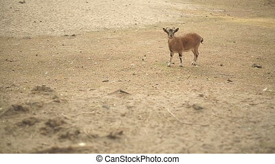 Mountain Goat At Desert - Mountain goat in a desert