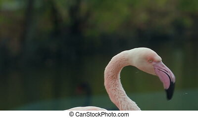 Flamingo Preening Its Feathers - Flamingo preening its...