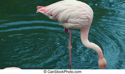 Pink Flamingo Drinking Water - Pink flamingo Drinks from the...