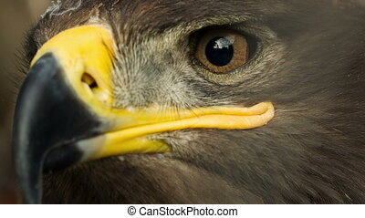 Steppe Eagle Close Up - Close up of a steppe eagle