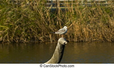 Seagull And Lake With Reeds On Background - Lonely bird...