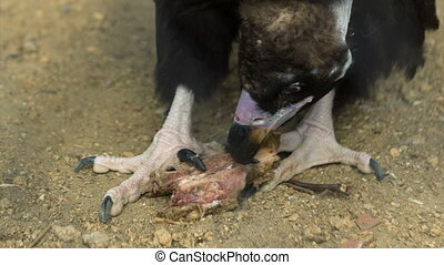 Black Vulture Eats Prey - Black vulture eats a prey