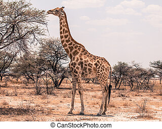 Giraffe feeding from tree