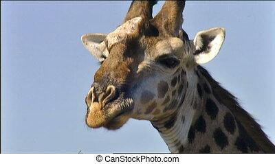 Giraffe face closeup - Giraffe (Giraffa camelopardalis) face...