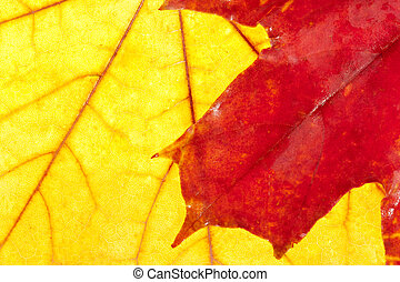 Autumn colors. Red maple leaf on big yellow one