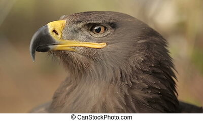 Eagle Look Around - Head of a steppe eagle