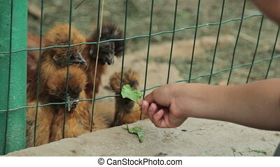 Girl feeding chickens, full HD