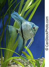 Angel fish - Cichlid fish from genus Pterophyllum in the...