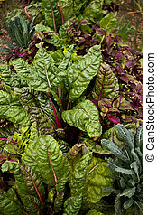 Chard and cabbage in a vegetable garden
