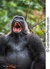 Silverback - adult male of a gorilla Western Lowland Gorilla...