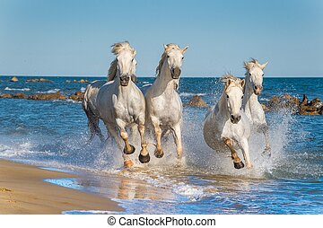 Herd of White Camargue Horses fast running through water in...