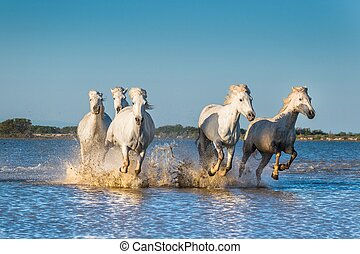 Herd of White Camargue Horses fast running through water in sunset light.