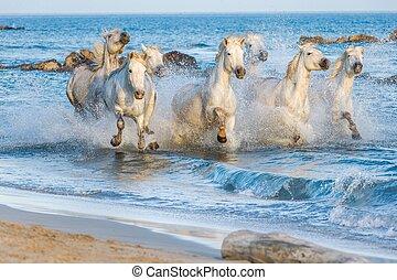 White Camargue Horses running thro