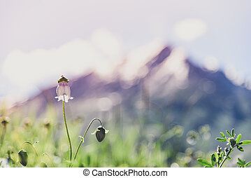 Flower field with snow mountain and sunny day, Kashmir, India. Len flare.