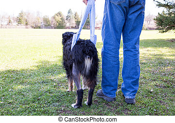 Injured dog walks in sling behind - Man with injured dog...