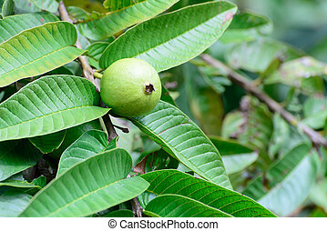 Apple Guava or Common Guava, Psidium Guajava, Goiaba or...