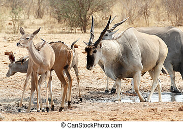 herd of eland drinking from waterhole - herd of common eland...