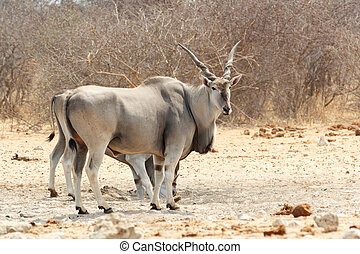 eland near waterhole, Etosha national Park, Ombika, Kunene,...