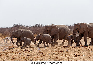 herd of African elephants hurry to waterhole. Etosha...