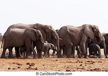 herd of African elephants drinking at a waterhole. Etosha...