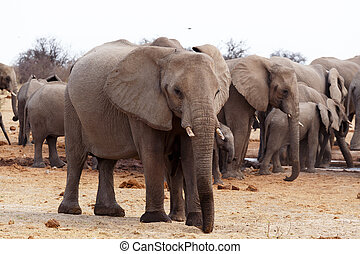 herd of African elephants at a waterhole Etosha national...