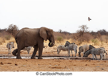 African elephants at a waterhole - big frican elephants at a...