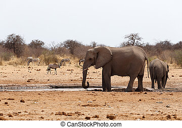 herd of African elephants at a waterhole. Etosha national...