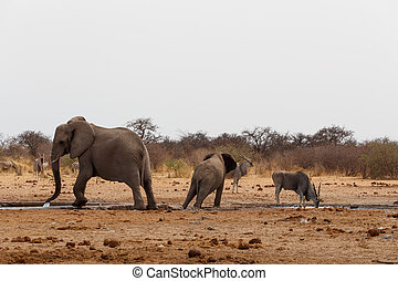 African elephants at a waterhole. Etosha national Park,...